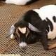 Pregnant Goat