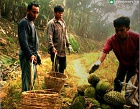 Durian Culture Photos