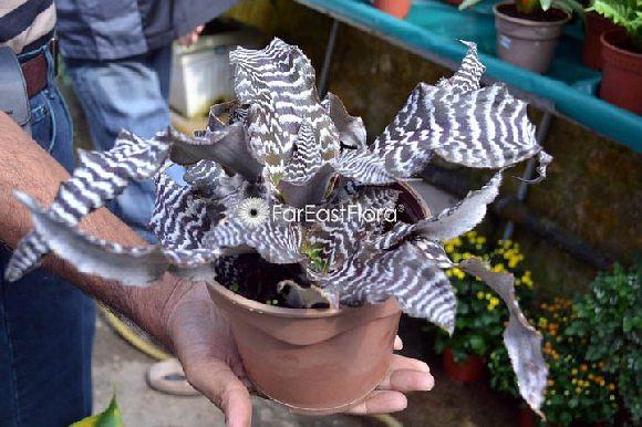 Far East Flora