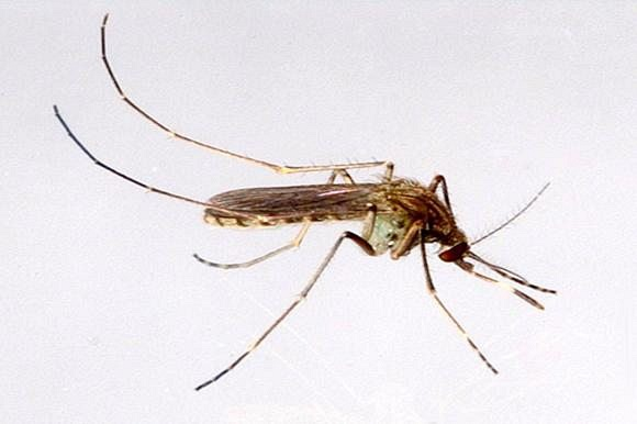 Culex mosquitoes