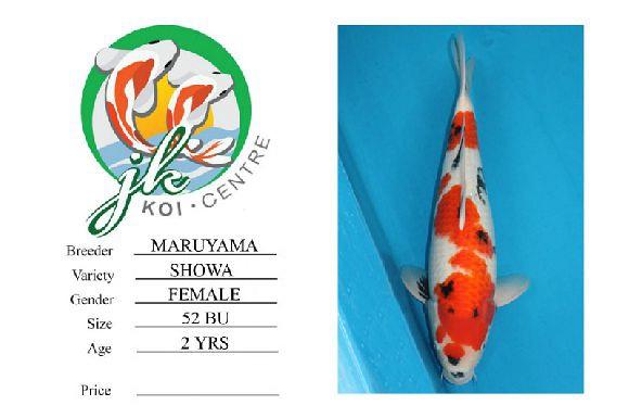 Maruyama Showa Female 52cm 2 Years Old