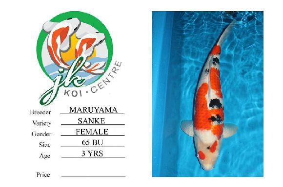Maruyama Sanke Female 65cm 3 Years Old