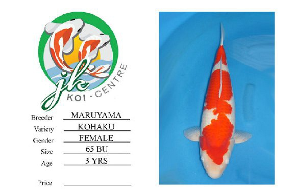 Maruyama Kohaku Female 65cm 3 Years Old