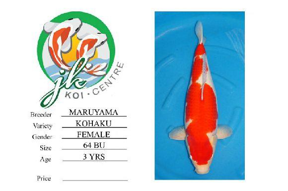 Maruyama Kohaku Female 64cm 3 Years Old