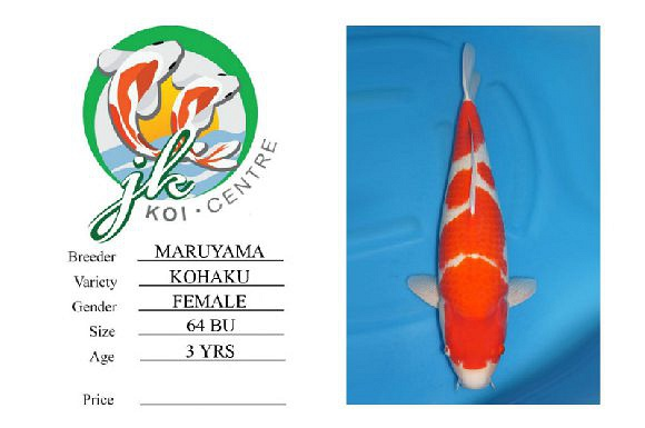 Maruyama Kohaku Female 64 cm 3 Years Old