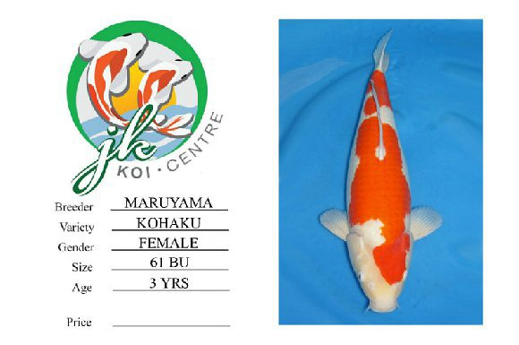 Maruyama Kohaku Female 61cm 3 Years Old
