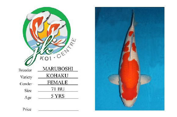 Maruboshi Kohaku Female 71cm 5 Years Old
