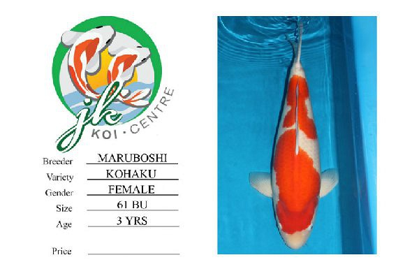 Maruboshi Kohaku Female 61cm 3 Years Old